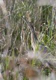 Tarabuso americano che si nasconde nelle erbe nella palude Georgia di Okefenokee fotografie stock