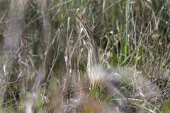 Tarabuso americano che si nasconde nelle erbe nella palude Georgia di Okefenokee immagini stock