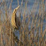 Tarabuso euroasiatico nascondentesi dell'uccello che si siede sulla canna/stellaris del Botaurus fotografie stock libere da diritti