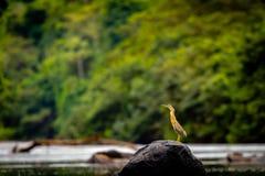 Tarabuso nel Surinam fotografie stock libere da diritti