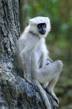 Tarai grey langur sitting at tree bottom Stock Photography