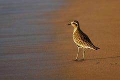 Tarambola dourada pacífica na praia, Maui, Havaí Fotografia de Stock