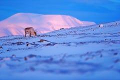 与驯鹿的冬天风景 野生驯鹿,驯鹿属tarandus,与在雪的巨型的鹿角,斯瓦尔巴特群岛,挪威 斯瓦尔巴特群岛鹿 免版税库存图片