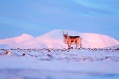与驯鹿的冬天风景 野生驯鹿,驯鹿属tarandus,与在雪的巨型的鹿角,斯瓦尔巴特群岛,挪威 斯瓦尔巴特群岛鹿 免版税库存照片