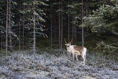 Tarandus del reno/del Rangifer en bosque del invierno imagen de archivo libre de regalías