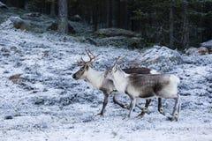 Tarandus del reno/del Rangifer en bosque del invierno imagenes de archivo