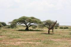 tarangire запаса giraffe Африки Стоковые Изображения RF