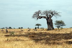 Tarangire boabab. Zebras in the tarangire national park in tanzania Stock Photography