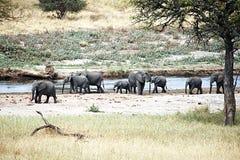 Tarangire elephants. A group of elephants in the tarangire national park in tanzania Stock Photography