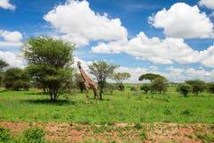 Tarangire landscape in Tanzania. Giraffe in Tarangire national park in Tanzania Royalty Free Stock Image