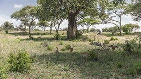 Tarangire National Park , landscapes. Impala antelopes Aepyceros melampus melampus in National Park Tarangire Conservation Area  , Tanzania . Africa Stock Photos