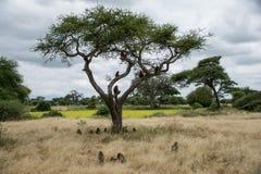 Tarangire nationalpark, Tanzania - babianer Fotografering för Bildbyråer