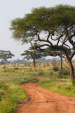 Tarangire road. A scenic dirt track in Tarangire National Park winding in between large thorn trees Stock Image