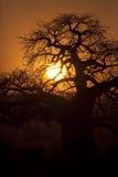 Tarangire Sunset 6549. Baobbb tree silhouetted against setting sun in Tarangire Tanzania Stock Photo