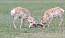 Taranować róg zamkniętej dzikiej antylopy Obraz Royalty Free