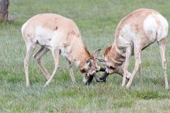 Taranować róg zamkniętej dzikiej antylopy Zdjęcie Stock