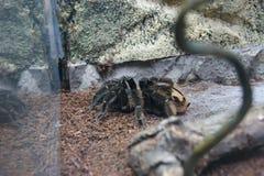 Tarantel bak exponeringsglaset på zoo Arkivfoton