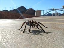 Tarantel im natürlichen Lebensraum, Theraphosidae am Hooverdamm Nevada lizenzfreies stockfoto
