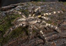 tarantola della Giallo-coscia veduta al matheran Immagine Stock Libera da Diritti