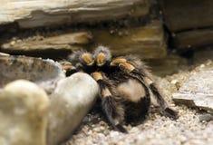 Tarantua Spider Royalty Free Stock Photography