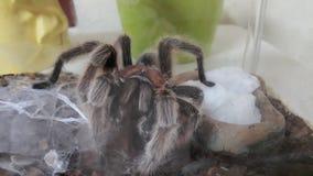 Tarantula από τη Χιλή στοκ φωτογραφία με δικαίωμα ελεύθερης χρήσης