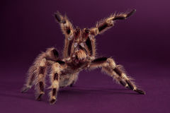 tarantula βασιλιάδων Στοκ εικόνα με δικαίωμα ελεύθερης χρήσης