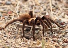 tarantula μετανάστευσης Στοκ φωτογραφία με δικαίωμα ελεύθερης χρήσης