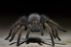tarantula ночи Стоковая Фотография RF