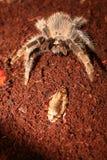 tarantula черепашки Стоковое Фото