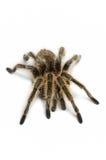 Tarantula чилийки розовый стоковое фото rf
