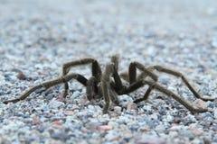 Tarantula #1 del deserto Immagini Stock Libere da Diritti