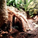 tarantula Immagini Stock