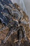 tarantula Fotografia Stock