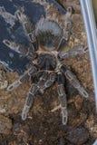 tarantula Fotografía de archivo libre de regalías