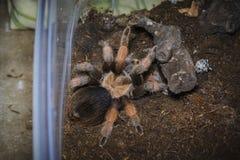tarantula stock fotografie
