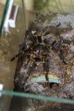 tarantula Fotografía de archivo