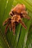 Tarantula Stock Photo
