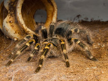 Tarantula photographie stock