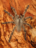 Tarantula. Indian Ornamental Tarantula (Poecilotheria regalis Stock Photo