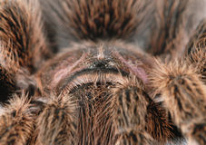 Tarantula. Chilean Rose Hair Tarantula (Grammostola rosea Stock Photo