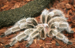 Tarantula Stockbild