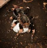 Tarantula. Red legged tarantula in Costa Rica with an egg sac Royalty Free Stock Photo