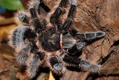 tarantula Στοκ εικόνα με δικαίωμα ελεύθερης χρήσης