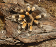 Tarantula. Spider, insect, arachnid, crawling stock images