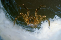 Tarantula. Portrait of wolf spider in our cove in underbrush Stock Images