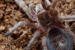 tarantula Стоковые Фотографии RF