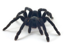 Tarantula Royalty Free Stock Photography