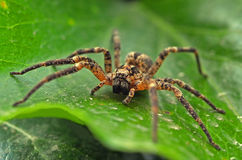 Tarantula. Wolf spider on leaf in tropical forest Royalty Free Stock Photos