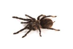 Tarantula Stock Afbeeldingen