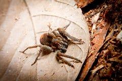 Tarantula Stock Image